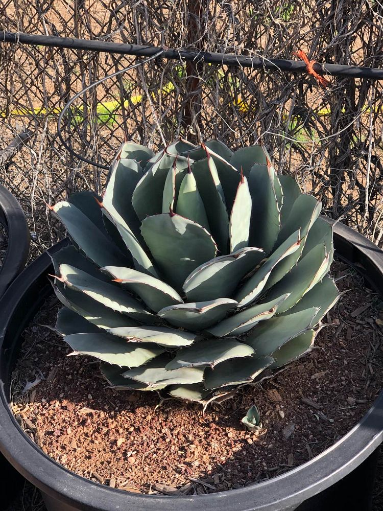 agave-parryi-truncata-mescal-agave