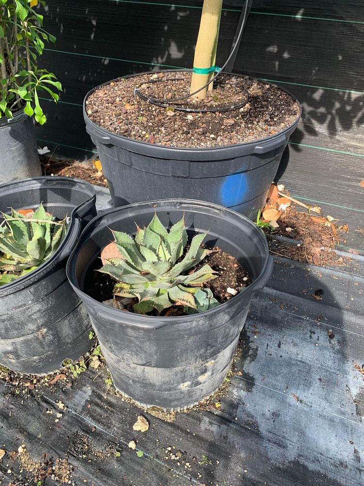 agave-potatorum-blue-rose-agave