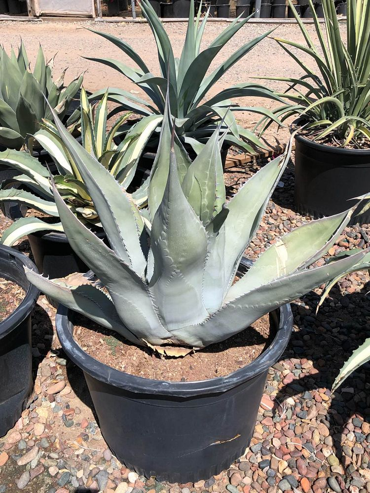 agave-scabra