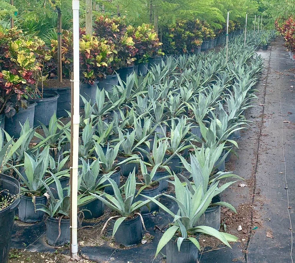 agave-tequilana-blue-agave