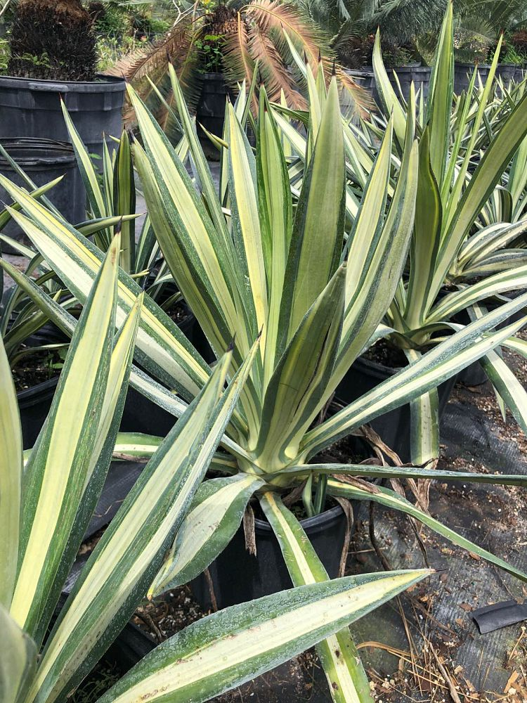 agave-tequilana-weberi