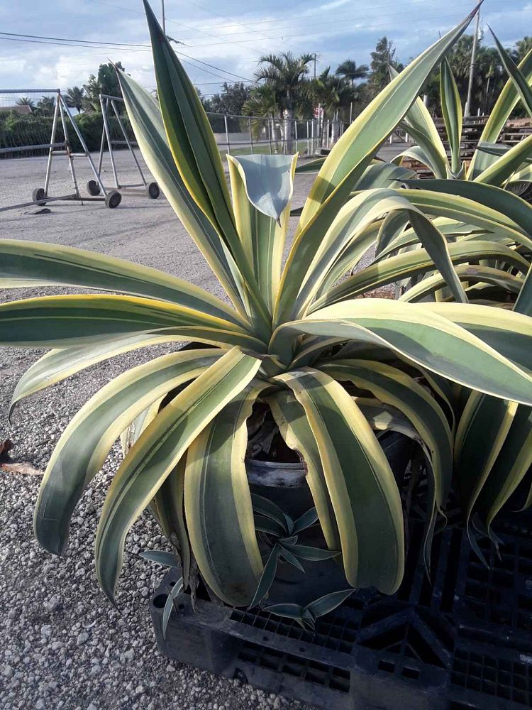 agave-weberi-arizona-star