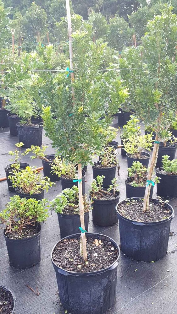 Black Olive East Nursery | plantANT com
