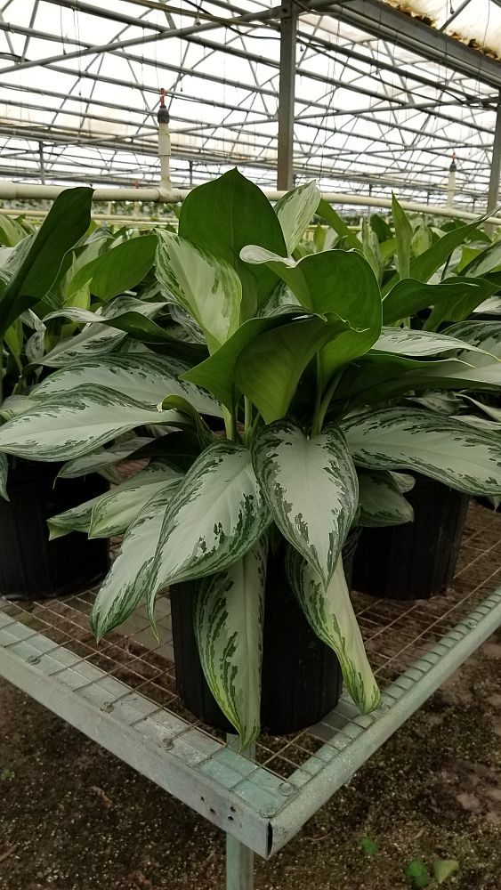 aglaonema-emerald-bay