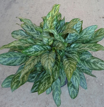 aglaonema-mary-ann-elite
