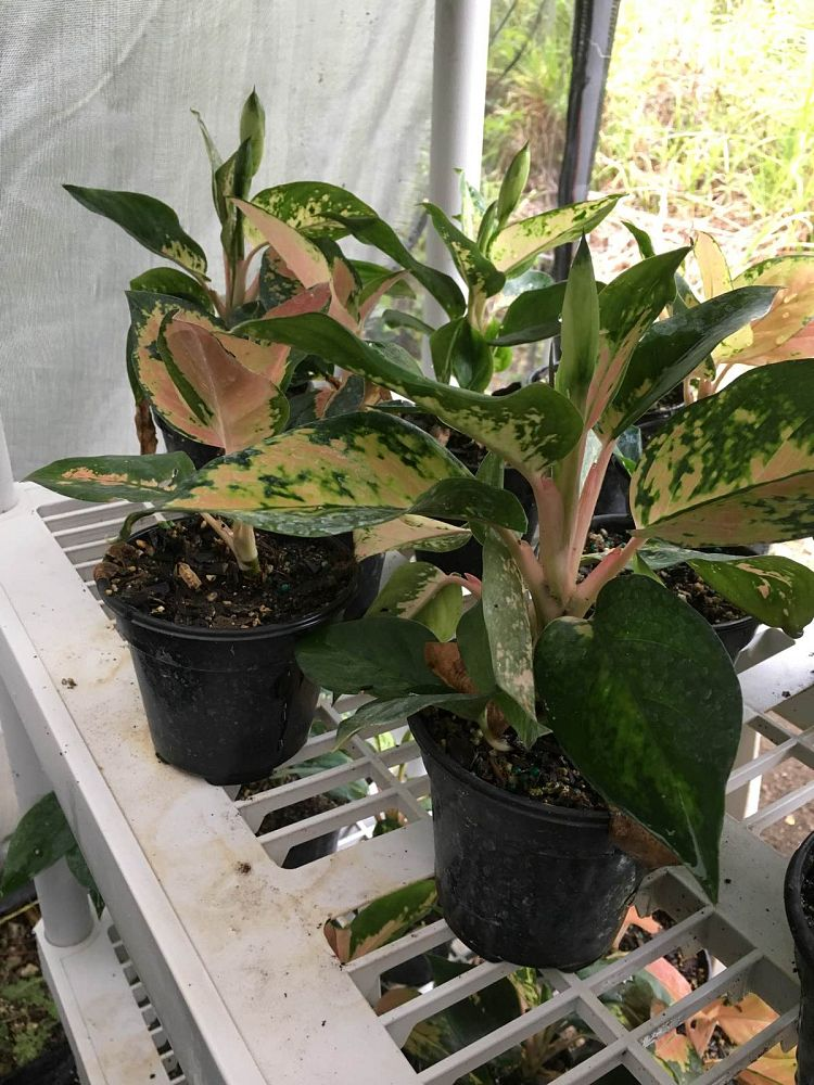 aglaonema-red-fountain