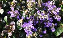 ajuga-reptans-chocolate-chip-carpet-bugleweed