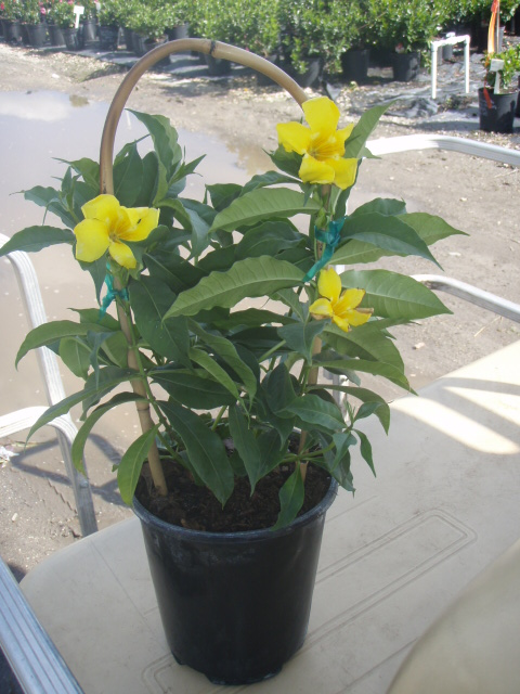 allamanda-cathartica-brown-bud-allamanda-yellow-allamanda-golden-trumpet