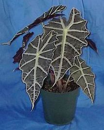 alocasia-amazonica-polly-african-mask-elephant-ear