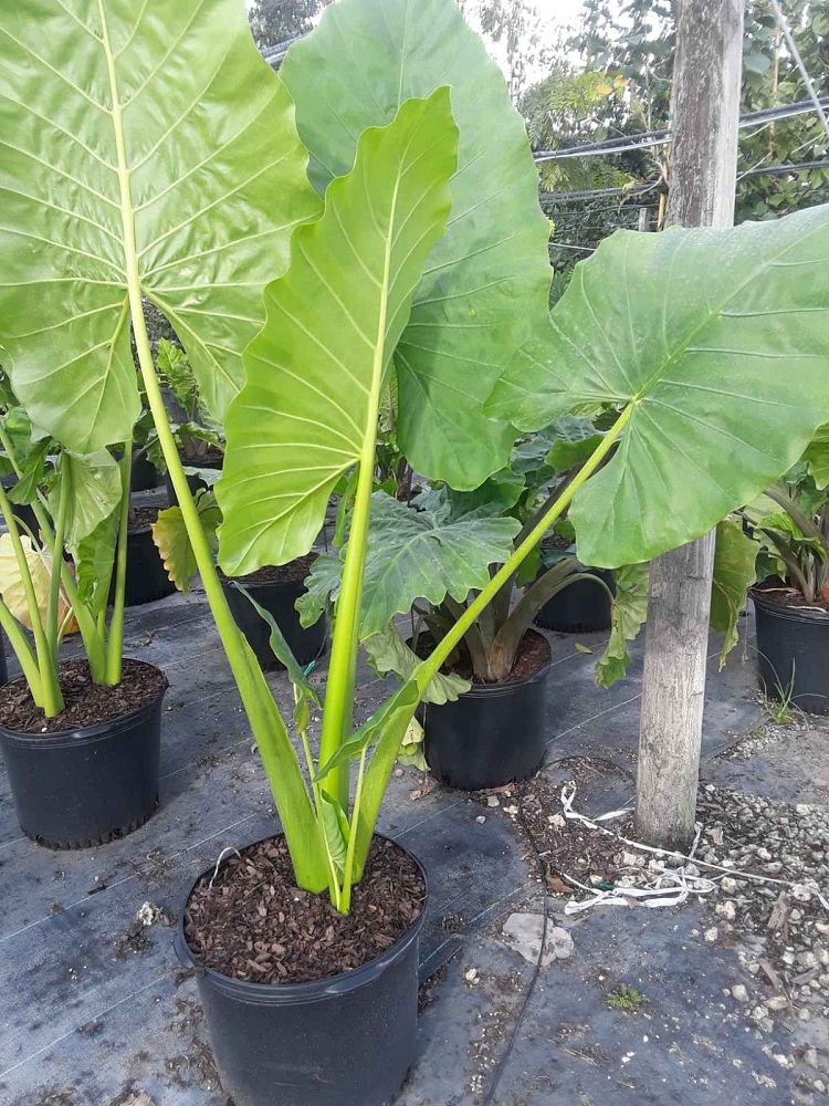 alocasia-calidora-elephant-ear