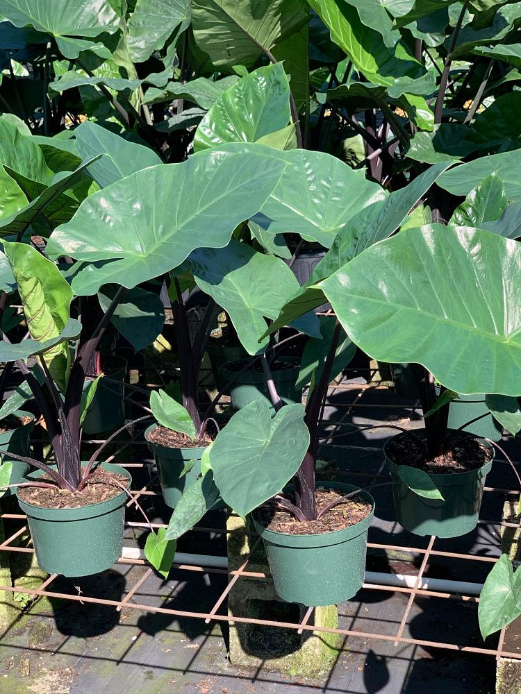 alocasia-dark-star-elephant-ear