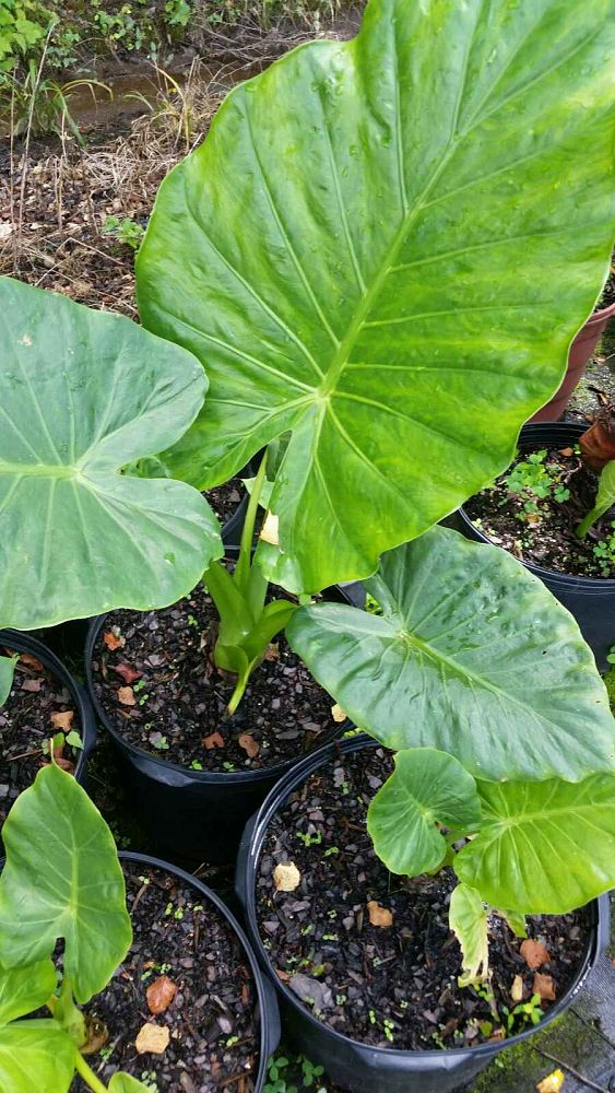 alocasia-elephant-ear