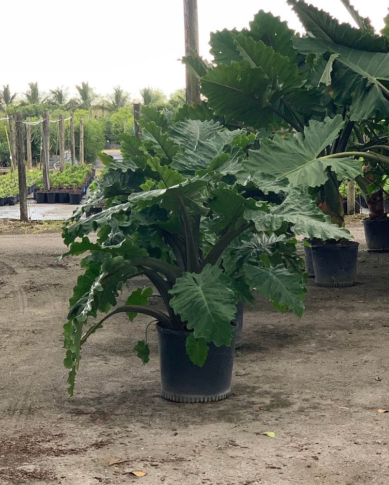 alocasia-low-rider-elephant-ear