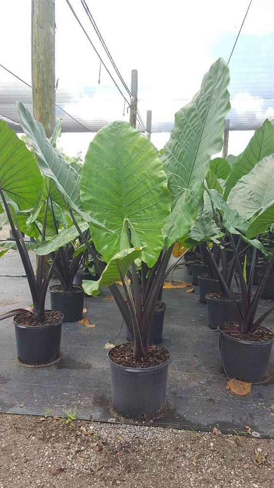 alocasia-macrorrhiza-black-stem-elephant-ear