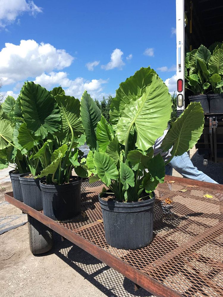 alocasia-odora-california-elephant-ear