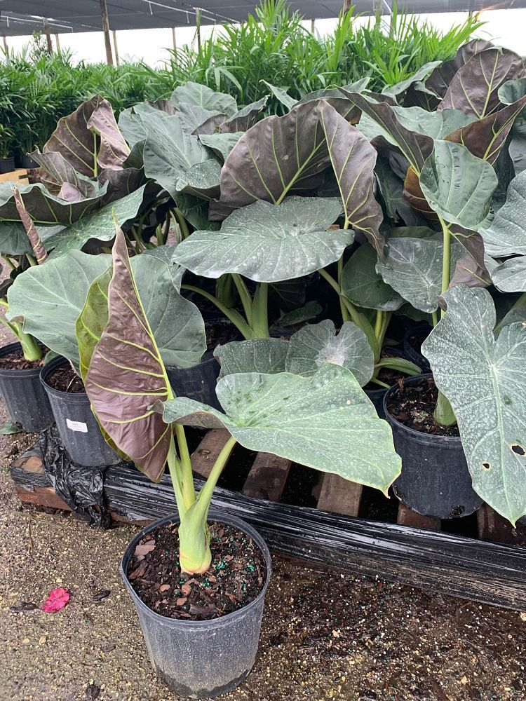 alocasia-regal-shields-elephant-ear