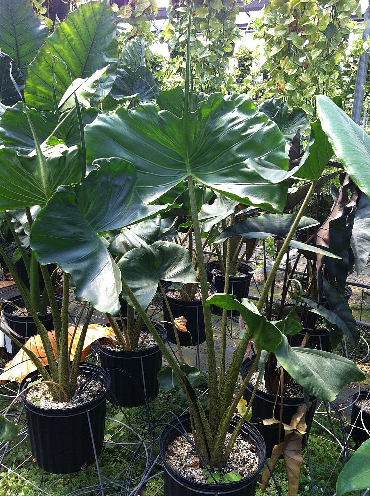 alocasia-stingray-elephant-ear