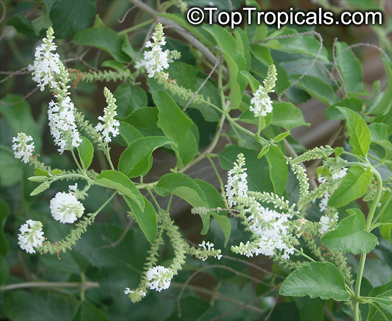 aloysia-virgata-sweet-almond-verbena-incense-bush-sweet-almond-bush