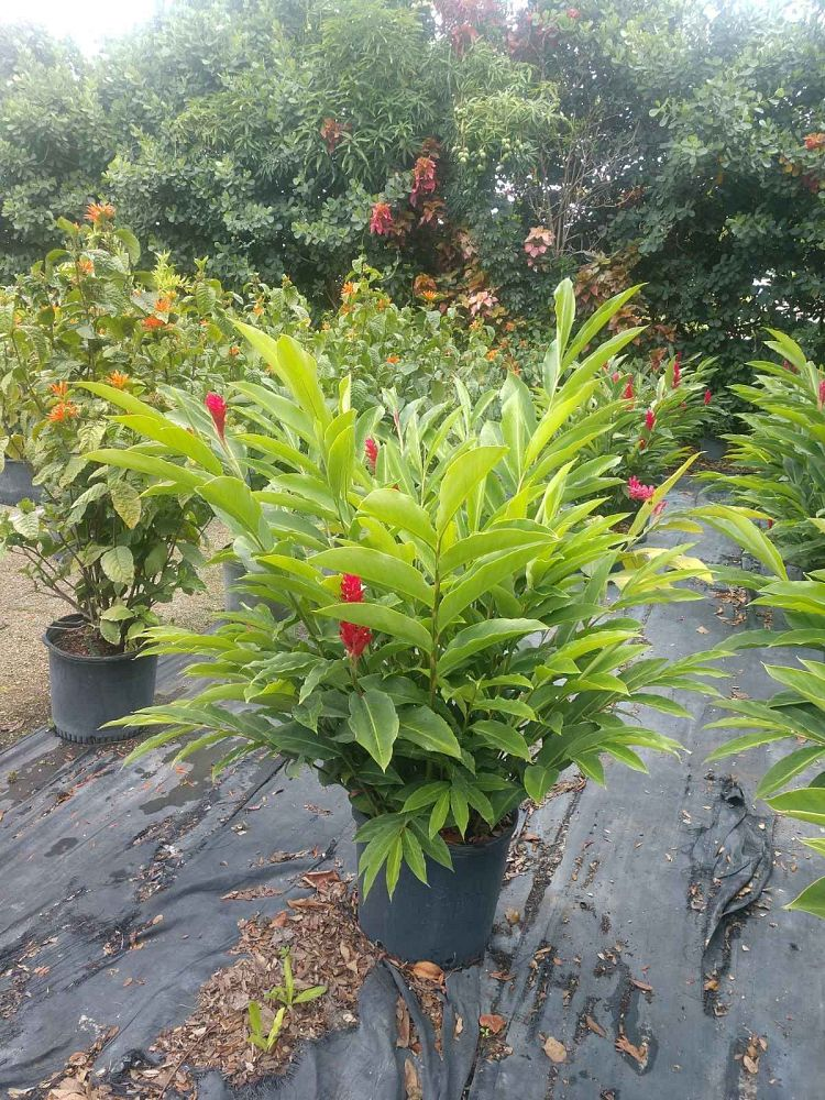 alpinia-purpurata-red-ginger