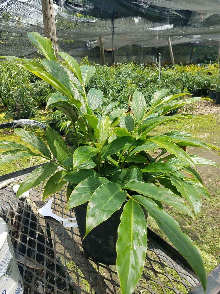 Benjamina Nursery Plantant Com