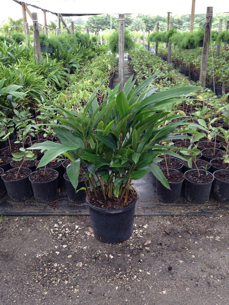 alpinia-zerumbet-shell-ginger-green