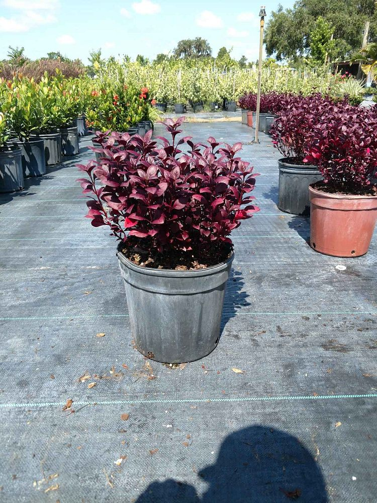alternanthera-brasiliana-purple-knight-calico-plant-joy-weed-parrot-leaf-ruby-leaf