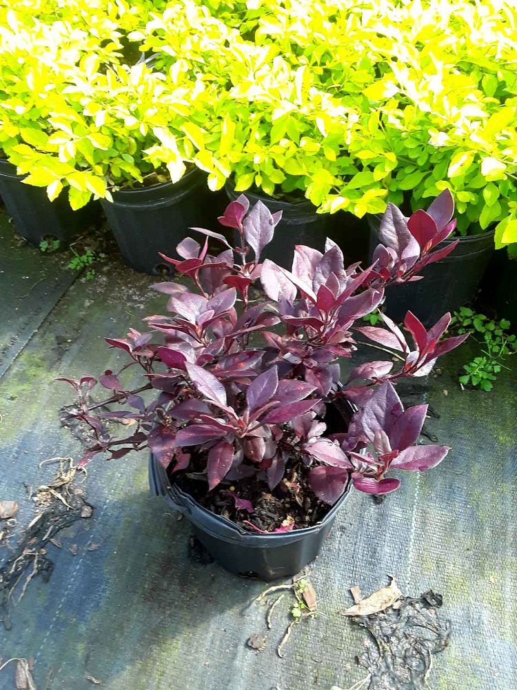 alternanthera-dentata-little-ruby-joseph-s-coat-joyweed
