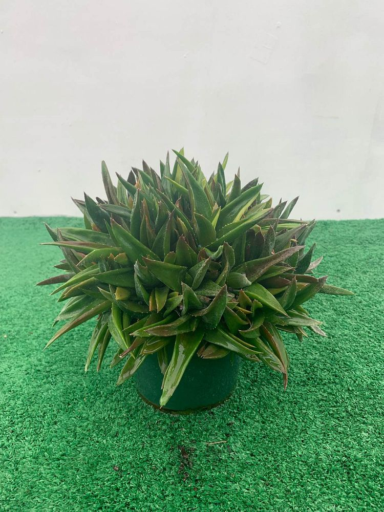 alworthia-black-gem-hybrid-aloe