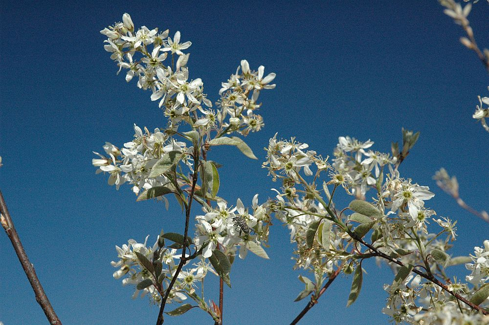 amelanchier-x-grandiflora-autumn-brilliance-apple-serviceberry