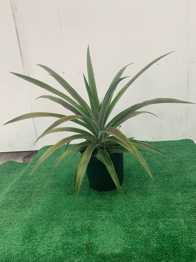 ananas-comosus-pineapple-edible