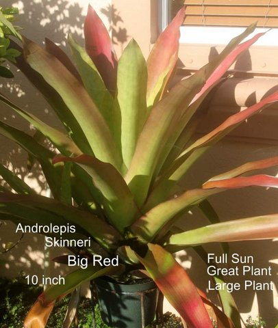 androlepis-skinneri-bromeliad-big-red