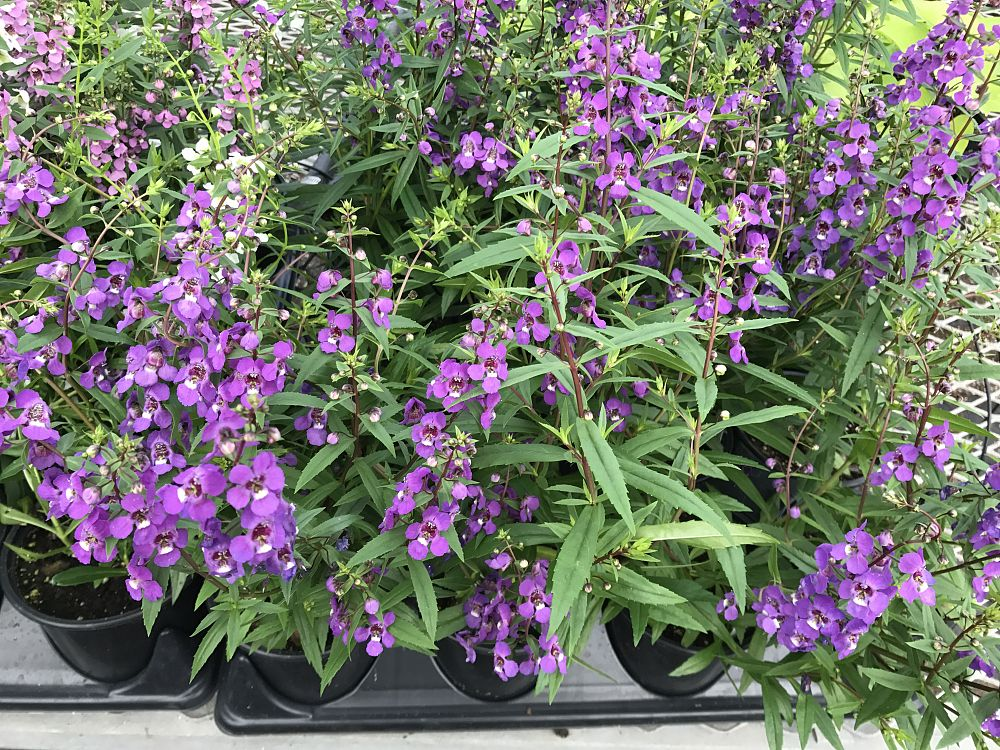 angelonia-angustifolia-serena-purple-summer-snapdragon