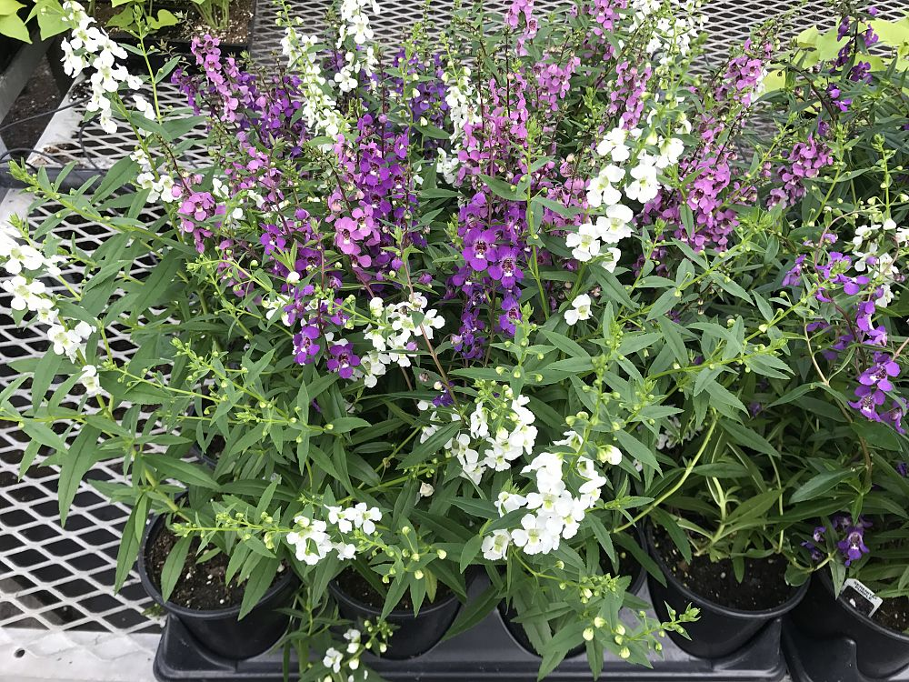 angelonia-angustifolia-serenita-mix-summer-snapdragon