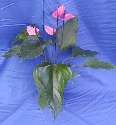 anthurium-andraeanum-miss-june-flamingo-flower