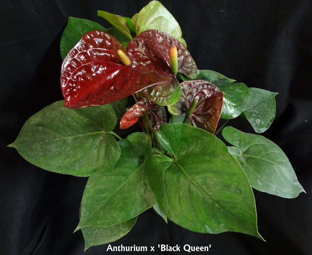 anthurium-black-queen