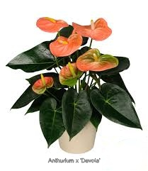 anthurium-devote