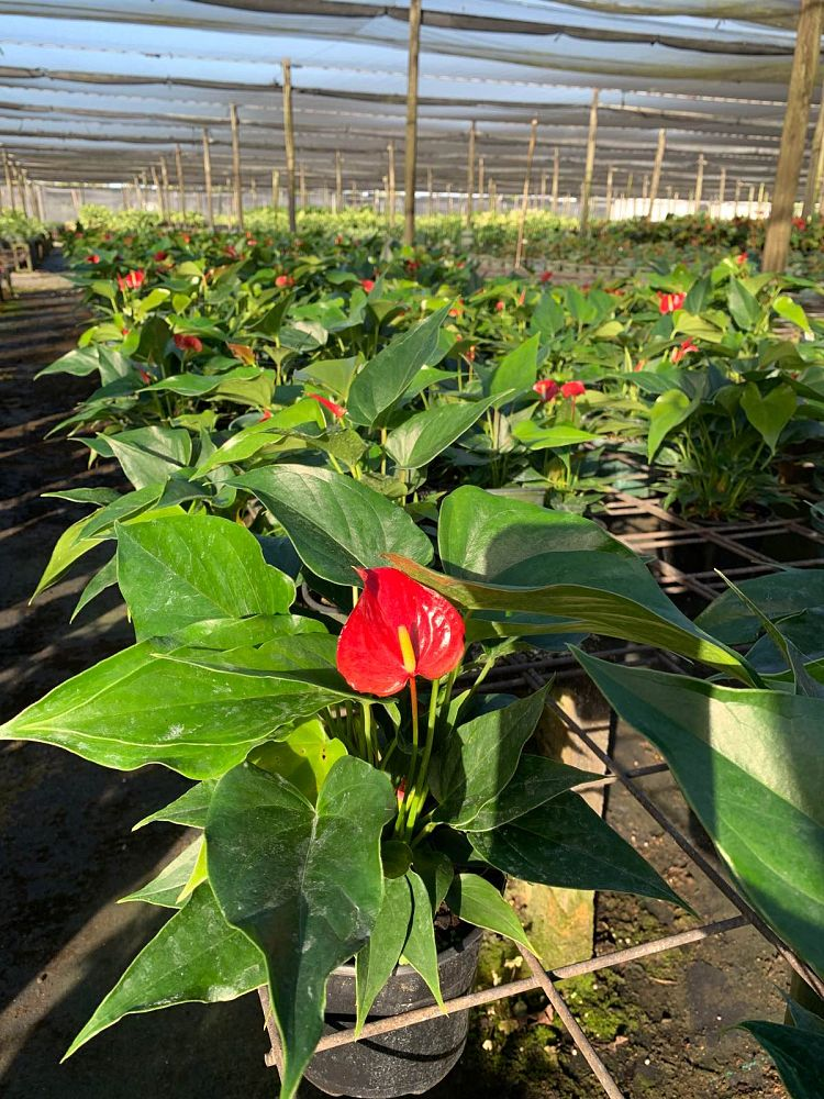 anthurium-fire-glow
