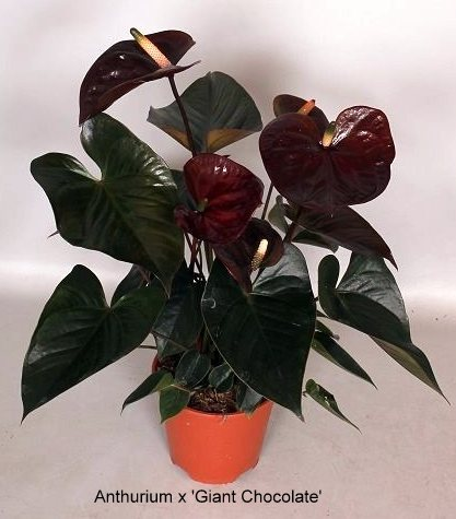 anthurium-giant-chocolate