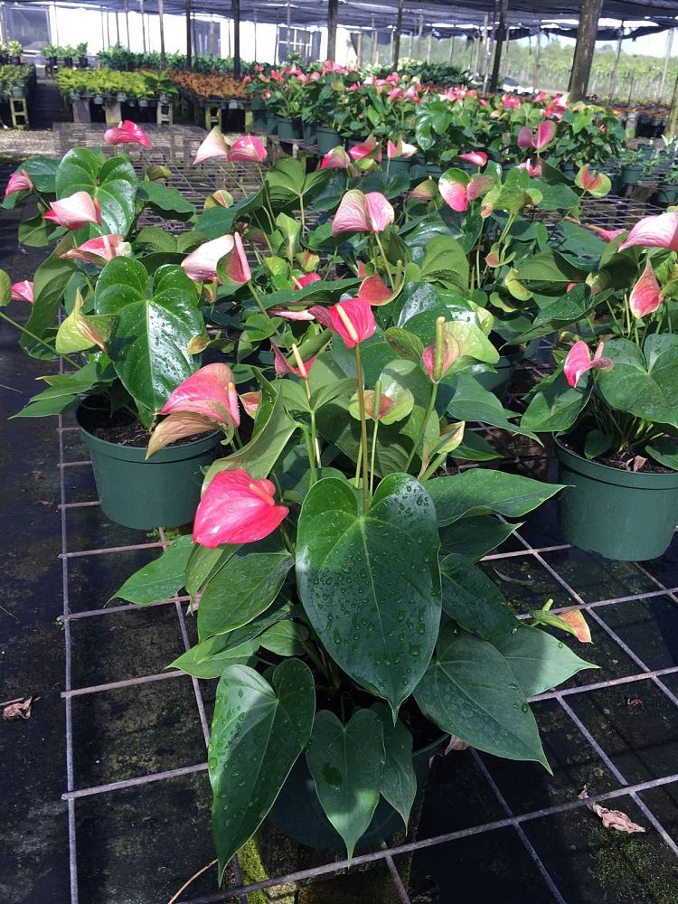 anthurium-kerrich-rose-blush
