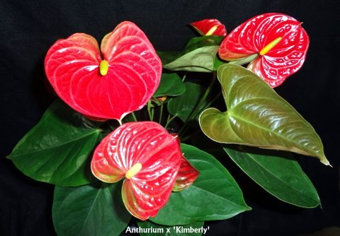 anthurium-kimberly
