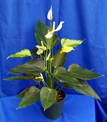 anthurium-mary-jean