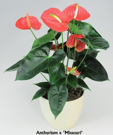 anthurium-missouri