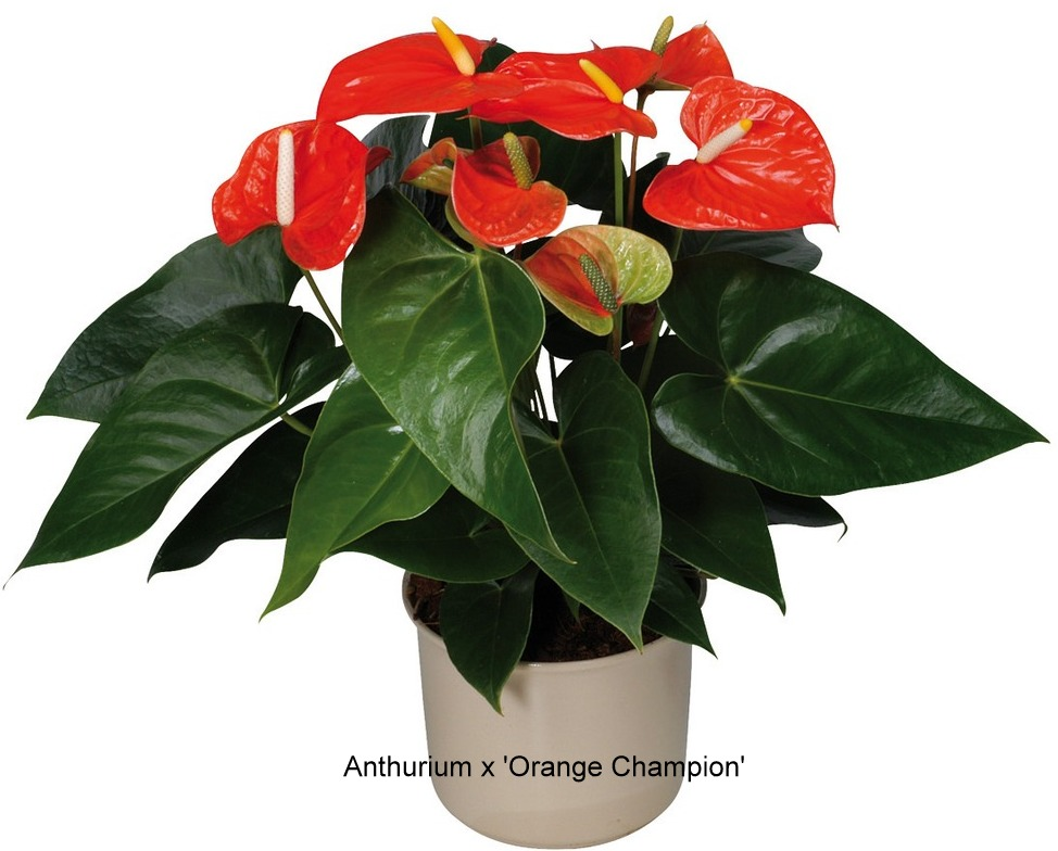 anthurium-orange-champion