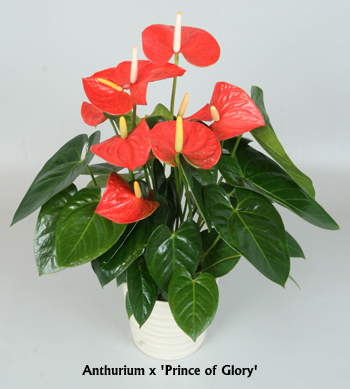 anthurium-prince-of-glory
