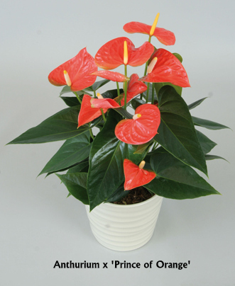 anthurium-prince-of-orange