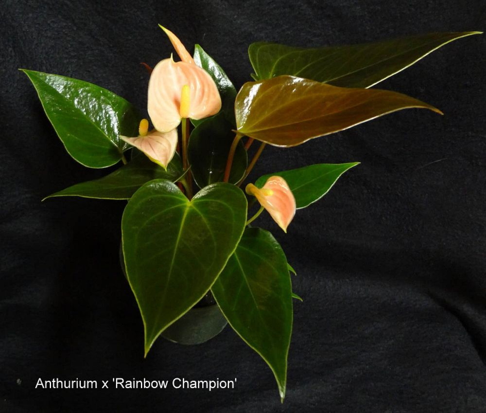 anthurium-rainbow-champion