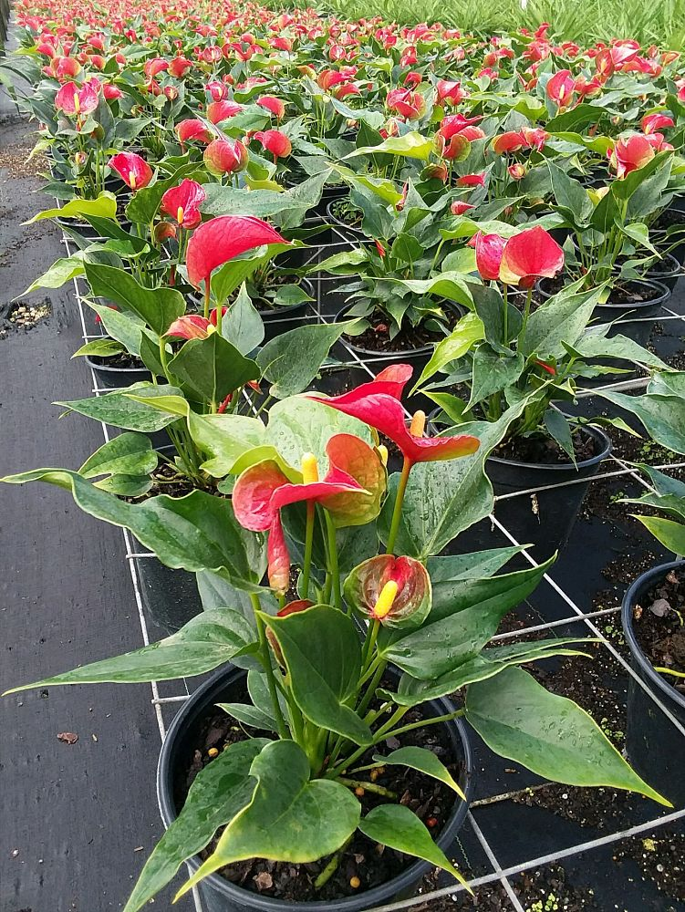 anthurium-red-heart
