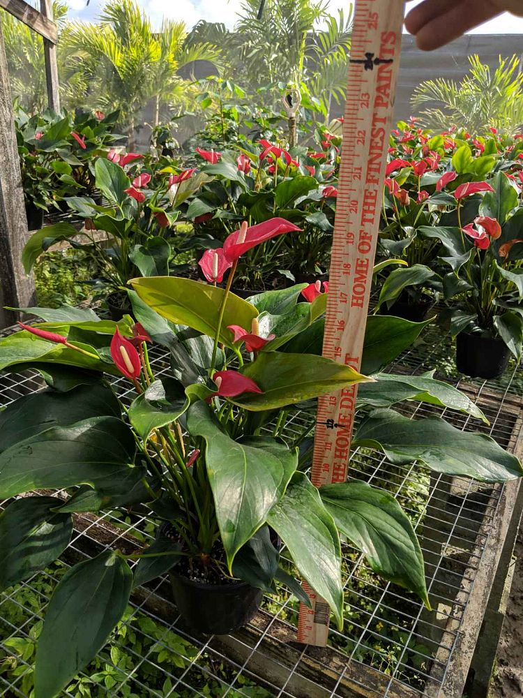 anthurium-red-hot
