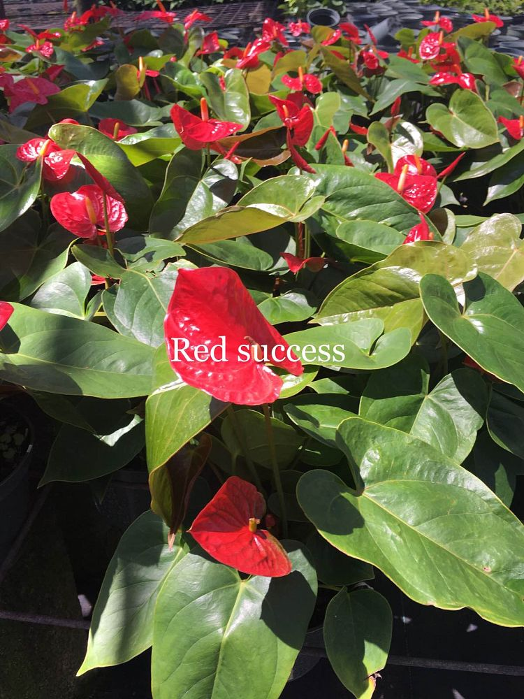 anthurium-red-success