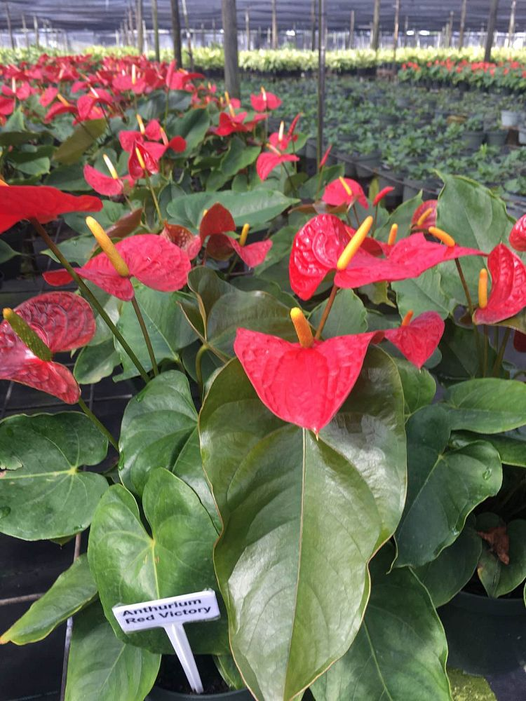 anthurium-red-victory